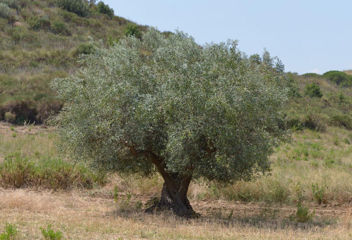Ulivo secolare a Gallinica