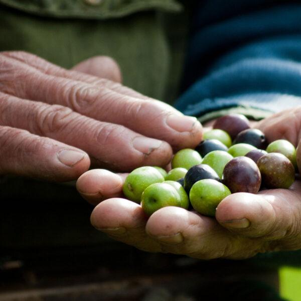 mani_olive_agricoltura_bio